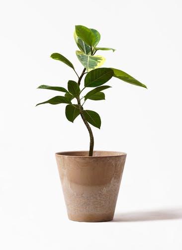 観葉植物 フィカス アルテシーマ 7号 曲り アートストーン ラウンド ベージュ 付き