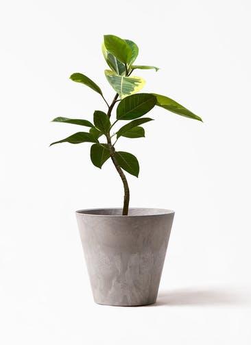 観葉植物 フィカス アルテシーマ 7号 曲り アートストーン ラウンド グレー 付き