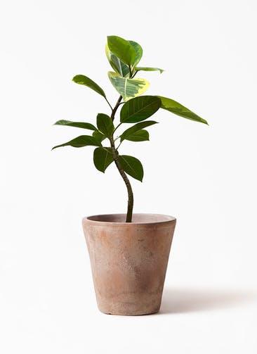 観葉植物 フィカス アルテシーマ 7号 曲り ルーガ アンティコ ソリッド 付き