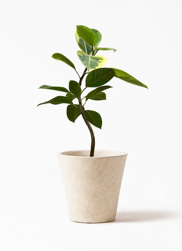 観葉植物 フィカス アルテシーマ 7号 曲り フォリオソリッド クリーム 付き