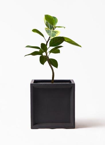 観葉植物 フィカス アルテシーマ 7号 曲り ブリティッシュキューブ 付き