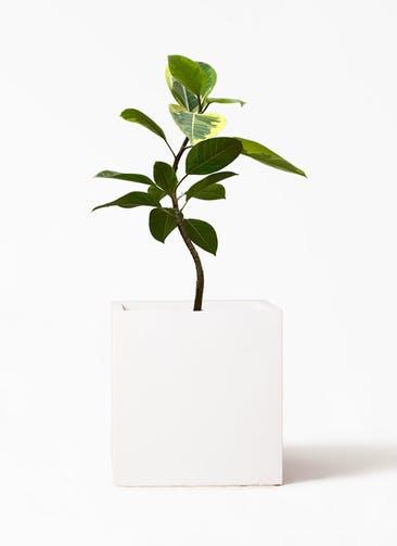 観葉植物 フィカス アルテシーマ 7号 曲り バスク キューブ 付き