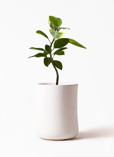 観葉植物 フィカス アルテシーマ 7号 曲り バスク ミドル ホワイト 付き