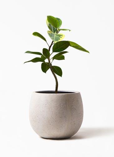 観葉植物 フィカス アルテシーマ 7号 曲り テラニアス ローバルーン アンティーク ホワイト 付き