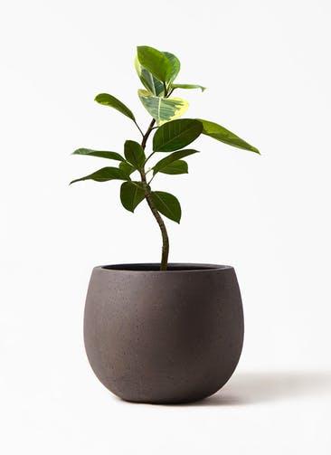 観葉植物 フィカス アルテシーマ 7号 曲り テラニアス ローバルーン アンティーク ブラウン 付き