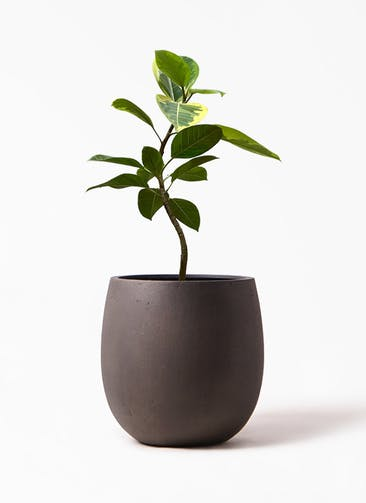 観葉植物 フィカス アルテシーマ 7号 曲り テラニアス バルーン アンティーク ブラウン 付き