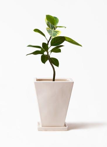 観葉植物 フィカス アルテシーマ 7号 曲り スクエアハット 白  付き