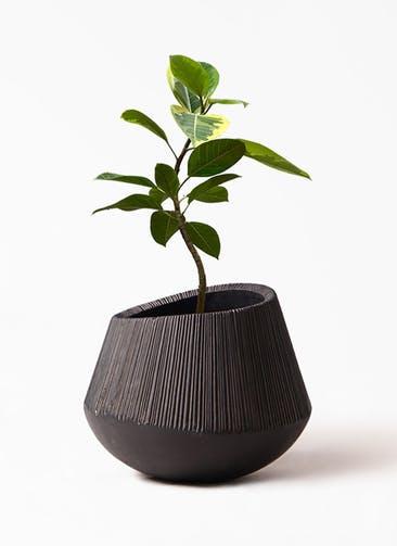 観葉植物 フィカス アルテシーマ 7号 曲り エディラウンド 黒 付き