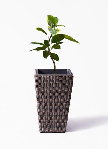 観葉植物 フィカス アルテシーマ 7号 曲り ウィッカーポット スクエアロング OT 茶 付き