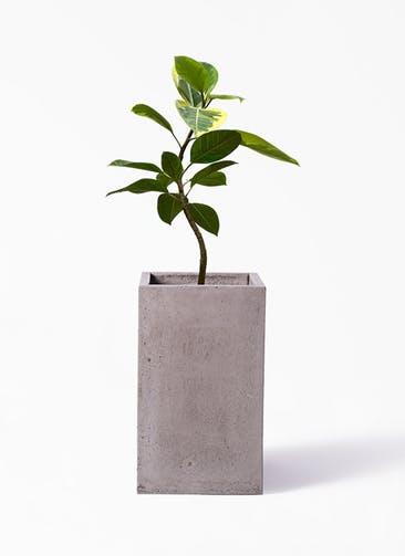 観葉植物 フィカス アルテシーマ 7号 曲り セドナロング  グレイ 付き