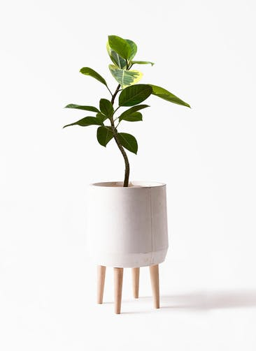 観葉植物 フィカス アルテシーマ 7号 曲り FiberCray(ファイバークレイ) white 付き
