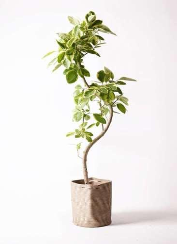 観葉植物 フィカス アルテシーマ 10号 曲り リブバスケットNatural 付き