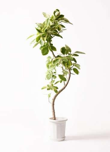 観葉植物 フィカス アルテシーマ 10号 曲り プラスチック鉢