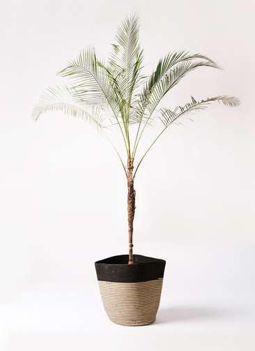 観葉植物 ヒメココス 10号 リブバスケットNatural and Black 付き