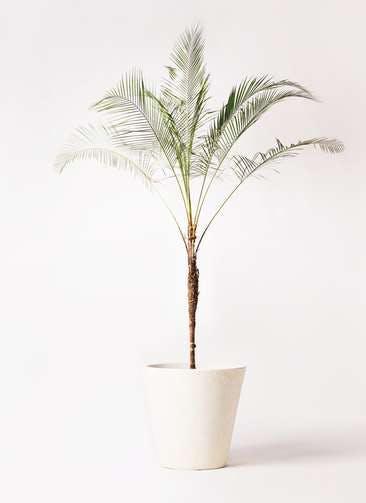 観葉植物 ヒメココス 10号 フォリオソリッド クリーム 付き