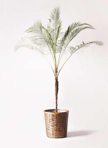 観葉植物 ヒメココス 10号 竹バスケット 付き