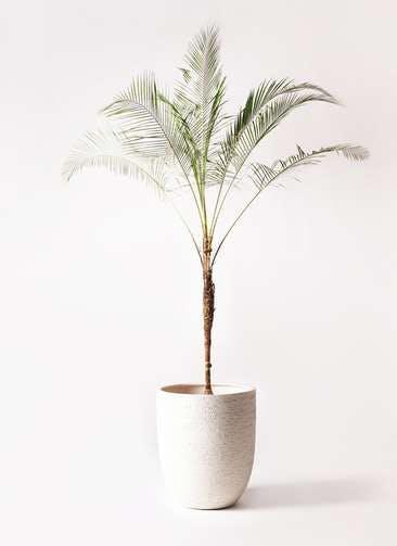 観葉植物 ヒメココス 10号 ビアスアルトエッグ 白 付き