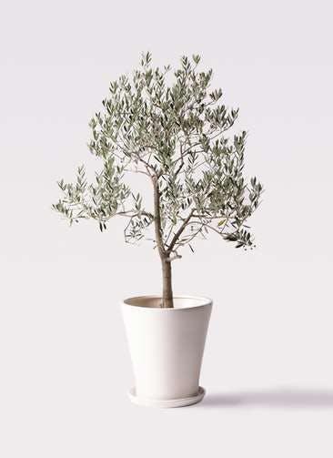 観葉植物 オリーブの木 10号 ピッチョリーネ サブリナ 白 付き