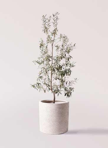 観葉植物 オリーブの木 10号 ワンセブンセブン サンディ シリンダー 白 付き