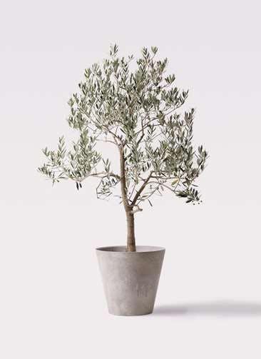 観葉植物 オリーブの木 10号 ピッチョリーネ アートストーン ラウンド グレー 付き