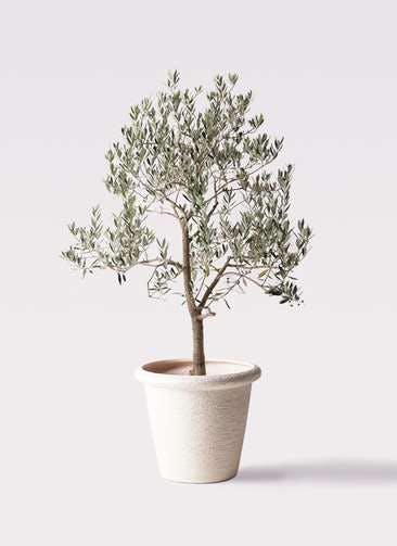 観葉植物 オリーブの木 10号 ピッチョリーネ ビアスリムス 白 付き