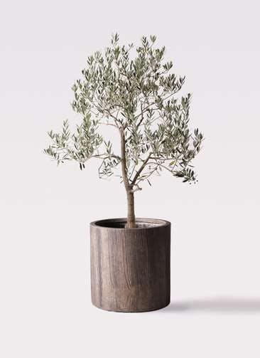 観葉植物 オリーブの木 10号 ピッチョリーネ アルファシリンダープランター 付き