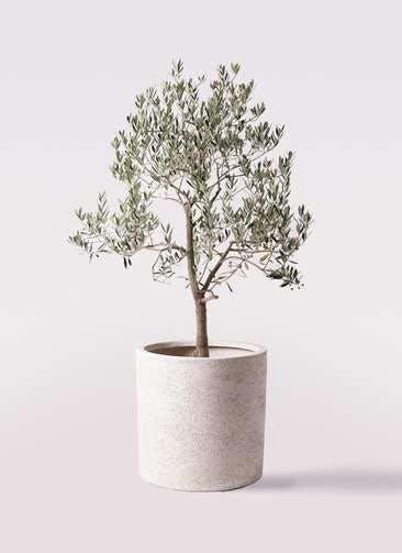 観葉植物 オリーブの木 10号 ピッチョリーネ サンディ シリンダー 白 付き