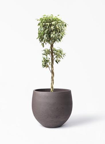 観葉植物 フィカス ベンジャミン 8号 スターライト 玉造り アディラボウル 濃茶 付き
