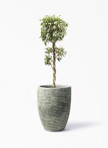 観葉植物 フィカス ベンジャミン 8号 スターライト 玉造り アビスソニア トール 緑 付き