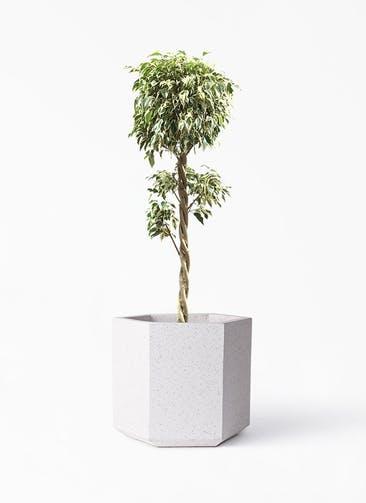 観葉植物 フィカス ベンジャミン 8号 スターライト 玉造り コーテス ヘックス ホワイトテラゾ 付き