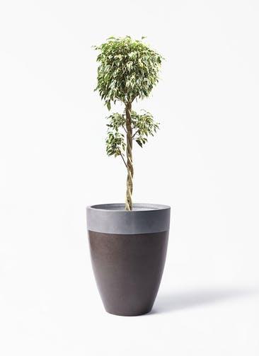 観葉植物 フィカス ベンジャミン 8号 スターライト 玉造り ファイバーストーン カプリ マッドブラウン 付き
