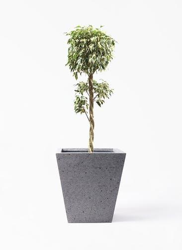 観葉植物 フィカス ベンジャミン 8号 スターライト 玉造り スクエア ラテルストーン  付き