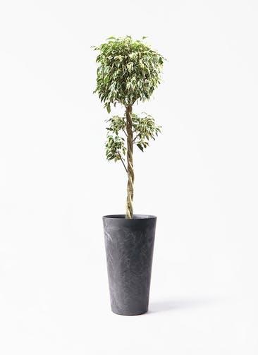 観葉植物 フィカス ベンジャミン 8号 スターライト 玉造り アートストーン トールラウンド ブラック 付き