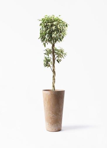 観葉植物 フィカス ベンジャミン 8号 スターライト 玉造り アートストーン トールラウンド ベージュ 付き