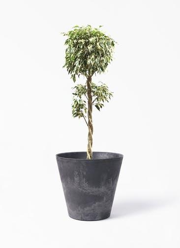 観葉植物 フィカス ベンジャミン 8号 スターライト 玉造り アートストーン ラウンド ブラック 付き