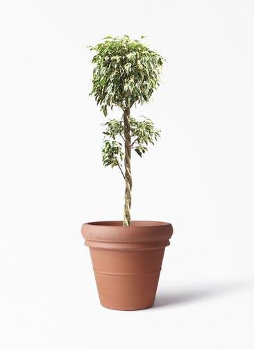 観葉植物 フィカス ベンジャミン 8号 スターライト 玉造り トスカーナ リムポット 付き