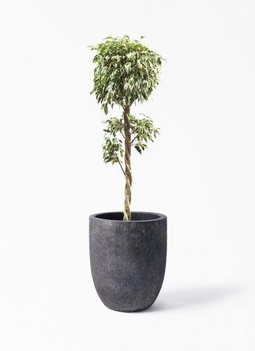 観葉植物 フィカス ベンジャミン 8号 スターライト 玉造り フォリオアルトエッグ ブラックウォッシュ 付き