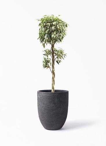観葉植物 フィカス ベンジャミン 8号 スターライト 玉造り ビアスアルトエッグ ブラック 付き