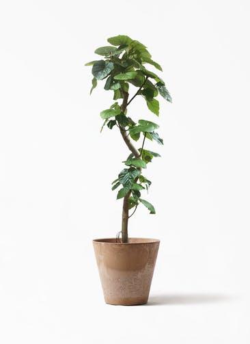 観葉植物 フィカス ウンベラータ 10号 曲がり アートストーン ラウンド ベージュ 付き