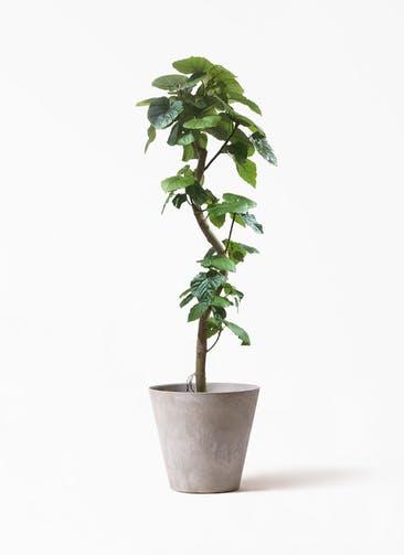 観葉植物 フィカス ウンベラータ 10号 曲がり アートストーン ラウンド グレー 付き