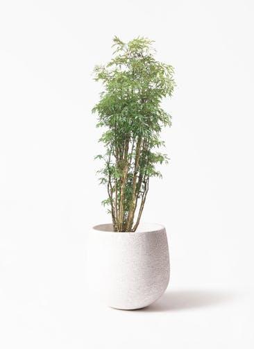 観葉植物 ポリシャス 8号 エコストーンwhite 付き