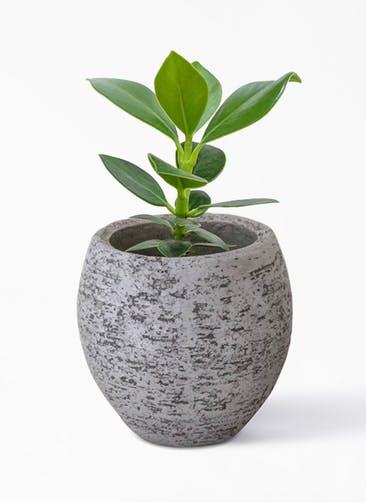観葉植物 クルシア ロゼア プリンセス 3号  Eco Stone(エコストーン) Gray 付き
