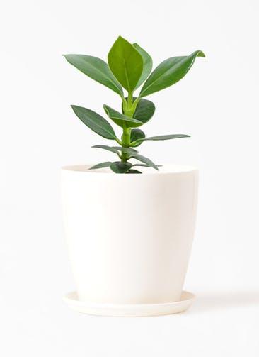 観葉植物 クルシア ロゼア プリンセス 3号 ラスターポット 付き