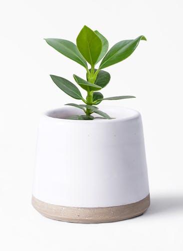 観葉植物 クルシア ロゼア プリンセス 3号 Color Crack(カラークラック) white 付き