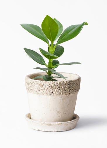 観葉植物 クルシア ロゼア プリンセス 3号 リト ラウンド 受け皿付き