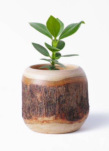 観葉植物 クルシア ロゼア プリンセス 3号 Mango Wood(マンゴーウッド) 付き