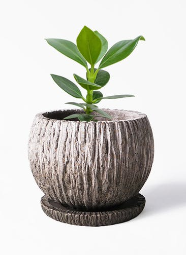 観葉植物 クルシア ロゼア プリンセス 3号 Cement Pot (セメントポット) 付き