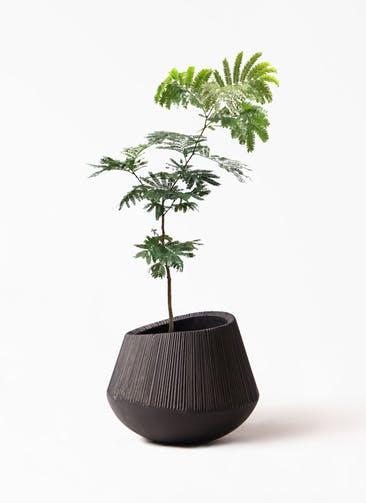 観葉植物 エバーフレッシュ 7号 ボサ造り エディラウンド 黒 付き