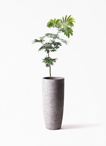 観葉植物 エバーフレッシュ 7号 ボサ造り  Eco Stone(エコストーン) トールタイプ Gray 付き