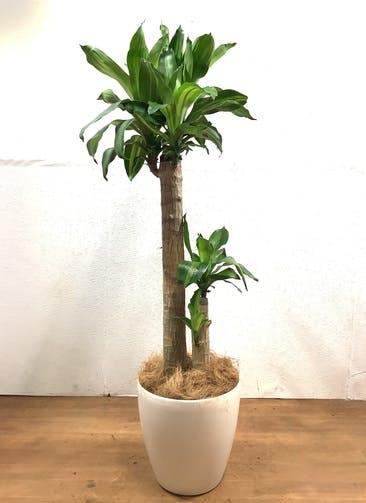 観葉植物 ドラセナ 幸福の木 【129cm】 ドラセナ 幸福の木 8号 #32526 ラスターポット付き